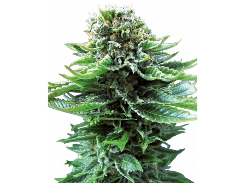 Sensi Seeds Northern Lights Autoflowering, feminizovaná semena konopí, samonakvétací, 3ks