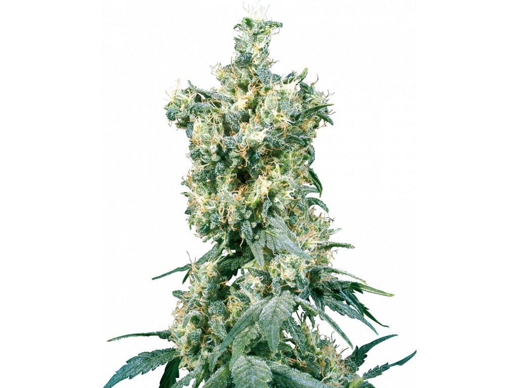 Sensi Seeds American Dream, regulérní semínka konopí, 10ks