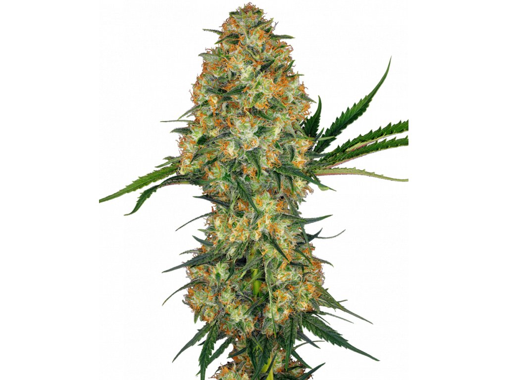 Sensi Seeds Hindu Kush, regulérní semena marihuany, 10ks
