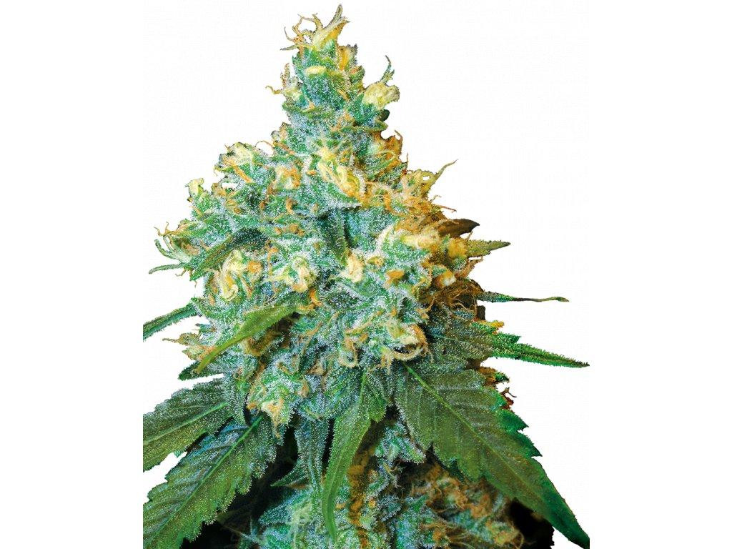 Sensi Seeds Jack Herer, regulérní semínka marihuany, 10ks
