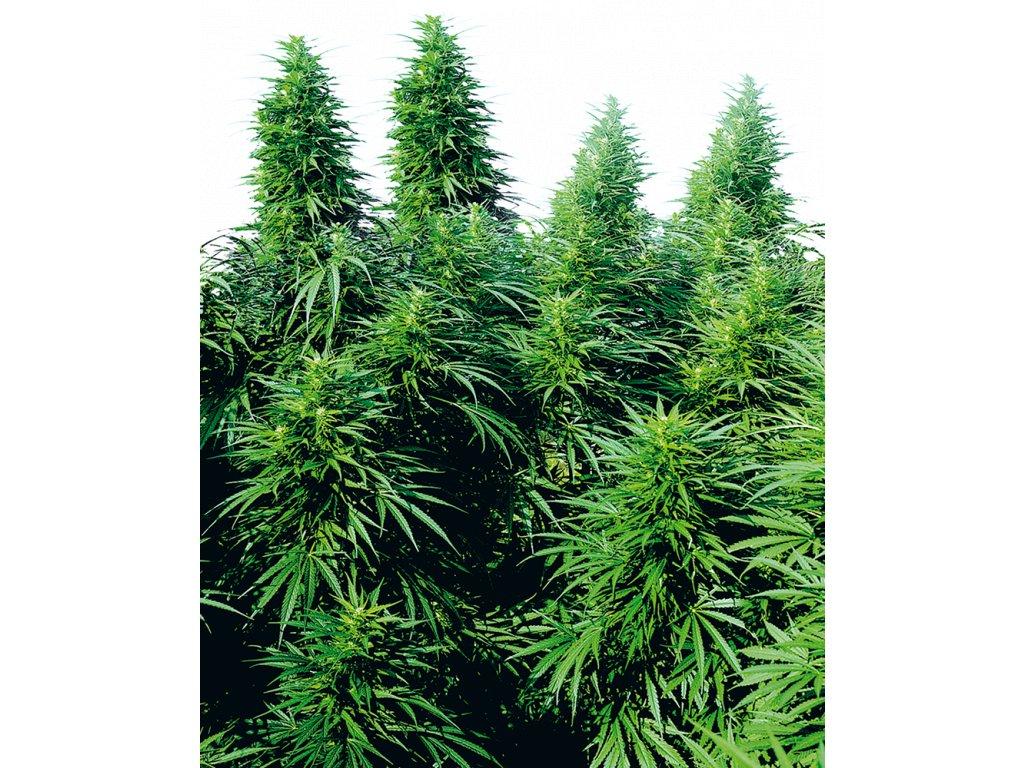 Sensi Seeds Ruderalis Skunk, regulérní semena marihuany, 10ks