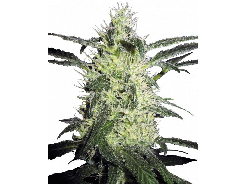 Sensi Seeds Silver Haze, regulérní semínka konopí, 10ks
