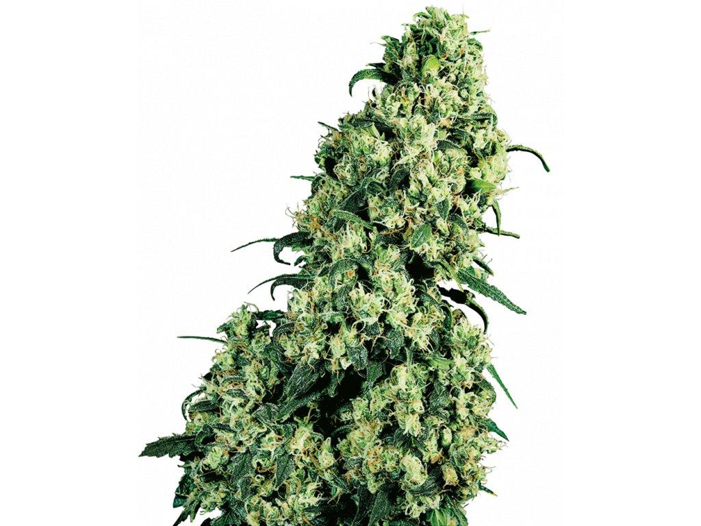 Sensi Seeds Skunk #1, feminizovaná semínka marihuany, 25ks