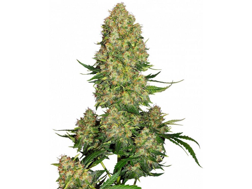Sensi Seeds Skunk 1 Autoflowering, feminizovaná semena marihuany, samonakvétací, 5ks