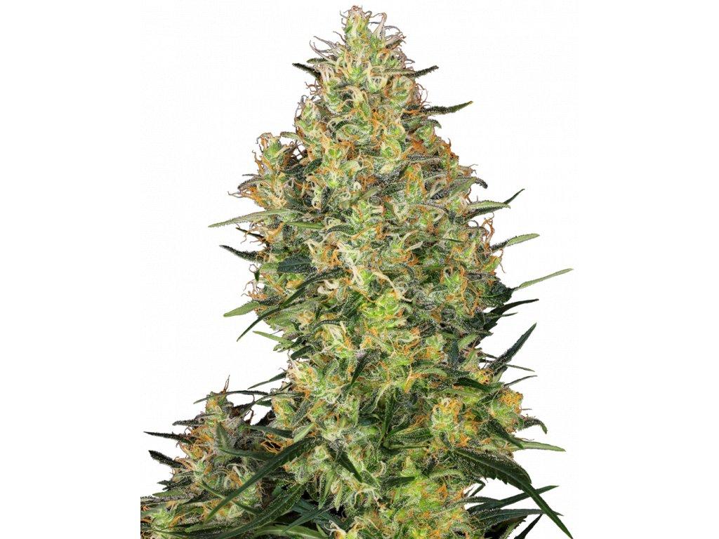 Sensi Seeds Shiva Skunk, feminizovaná semena marihuany, 3ks