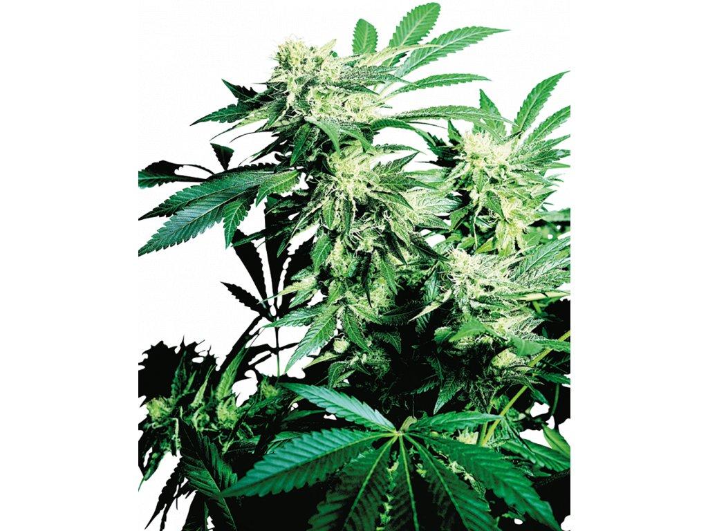 Sensi Seeds Skunk Kush, feminizovaná semena marihuany, 3ks
