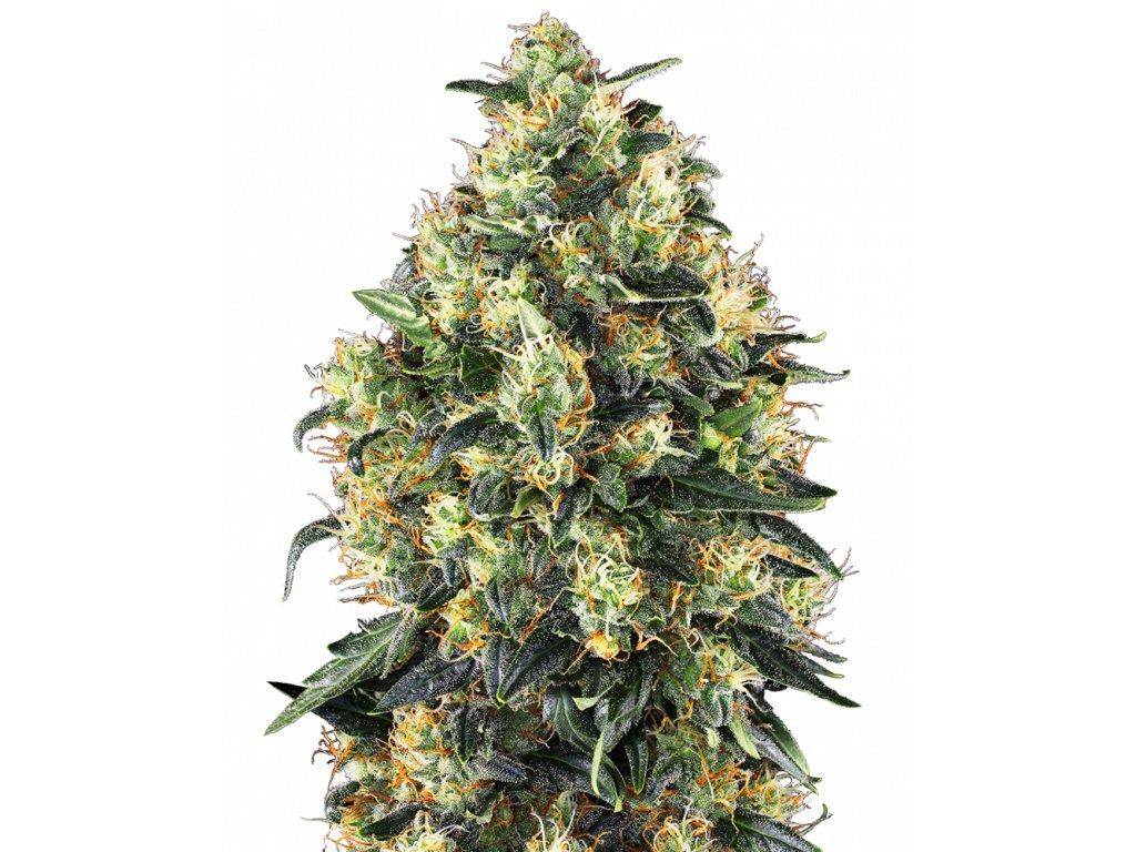 Sensi Seeds Super Skunk Autoflowering, feminizovaná semena marihuany, samonakvétací, 5ks