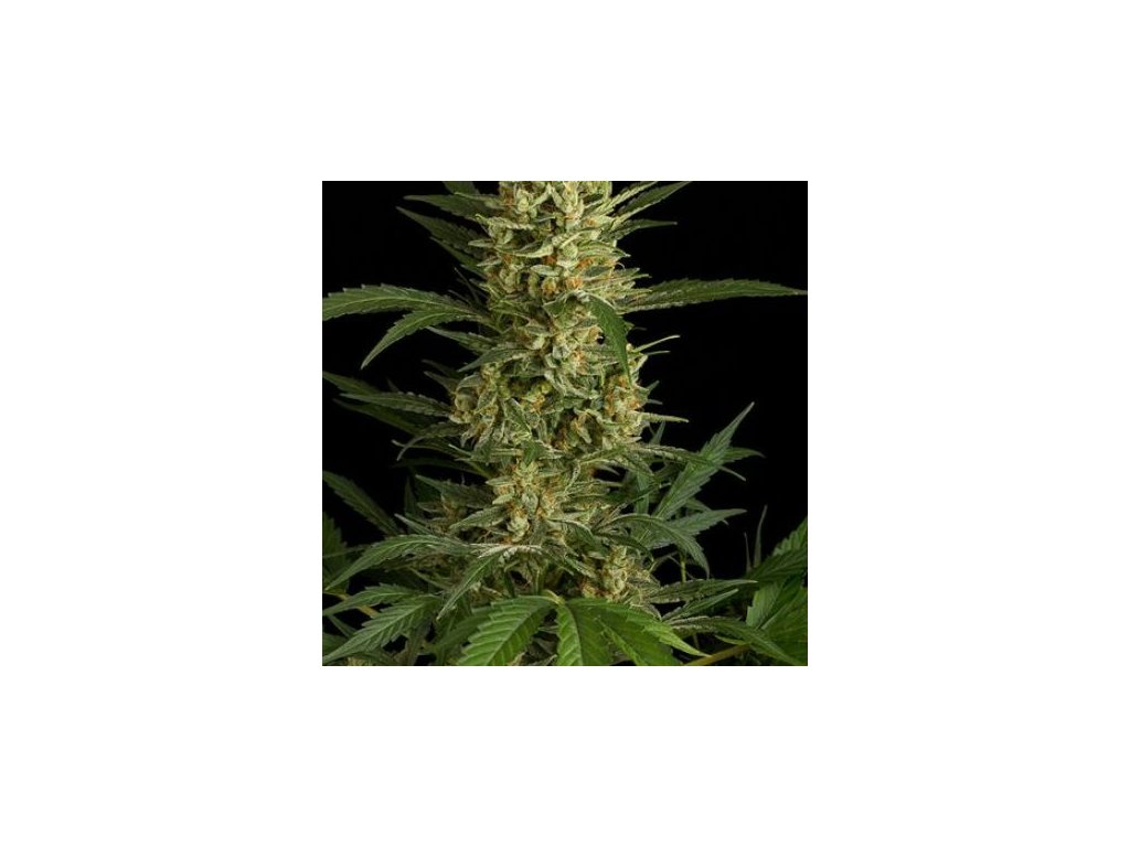 Dinafem Original Amnesia Autoflowering, feminizovaná semena marihuany, samonakvétací, 5ks