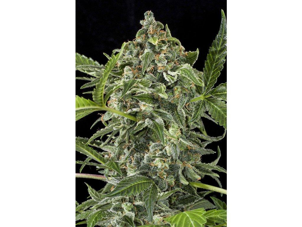 Dinafem White Cheese Autoflowering, feminizovaná semena marihuany, samonakvétací, 5ks