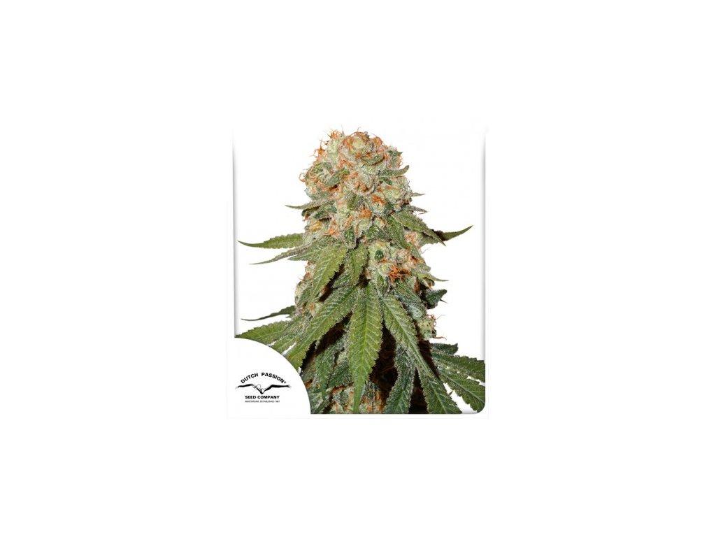 Dutch Passion Orange Bud, feminizovaná semena marihuany, 5ks