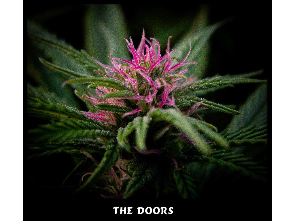 Mr. Nice Seeds The Doors - NL5Hz x Haze AC, regulérní konopná semínka, 18ks