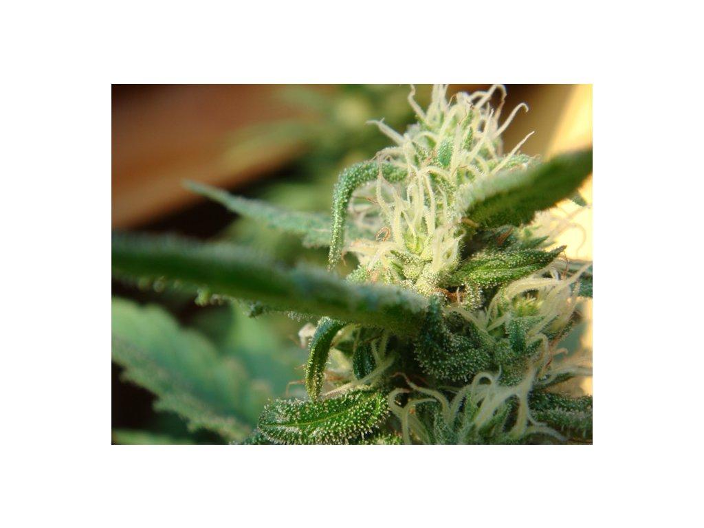 Mr. Nice Seeds Angel´s Breathe - Mango Haze x Afghan Haze, regulérní semínka marihuany, 18ks