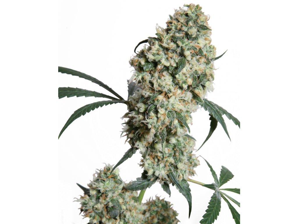 Sensi Seeds Ed Rosenthal Super Bud, regulérní semínka marihuany, 10ks