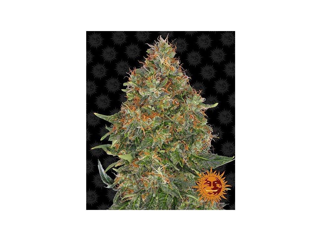 Barney's Farm Pineapple Express Auto, feminizovaná semena marihuany, samonakvétací, 5ks