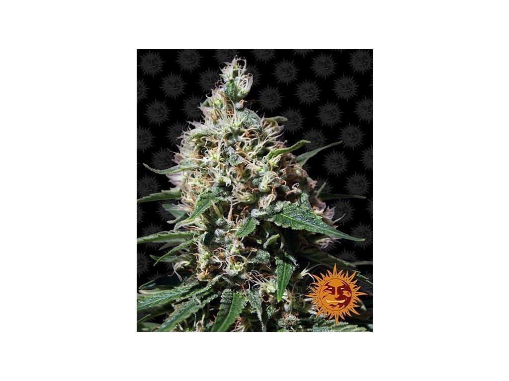 Barney's Farm Peppermint Kush, feminizovaná semínka konopí, 10ks