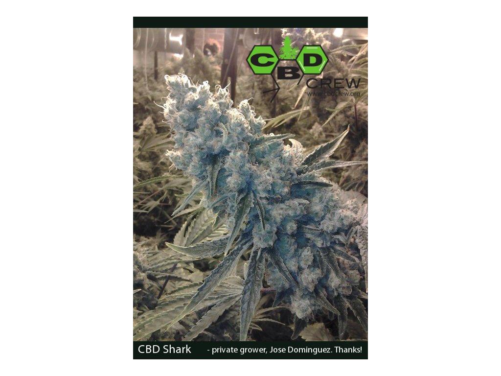 CBD Crew CBD SharkShock, feminizovaná semínka marihuany, 5ks