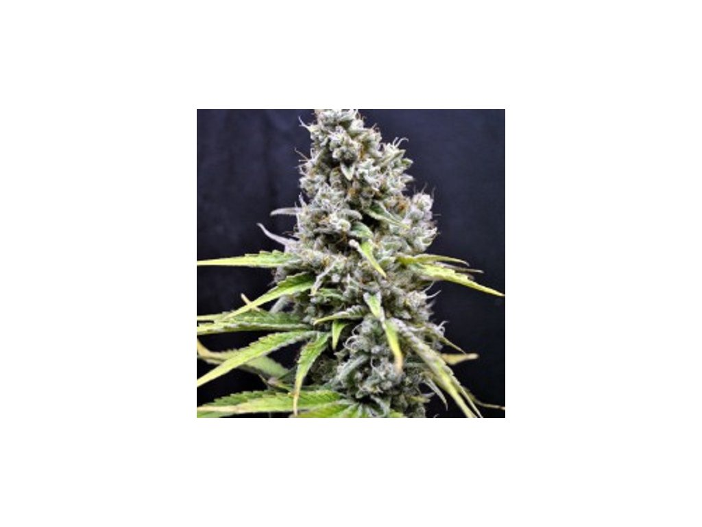 CBD Crew CBD Skunk Haze, feminizovaná semínka marihuany, 5ks