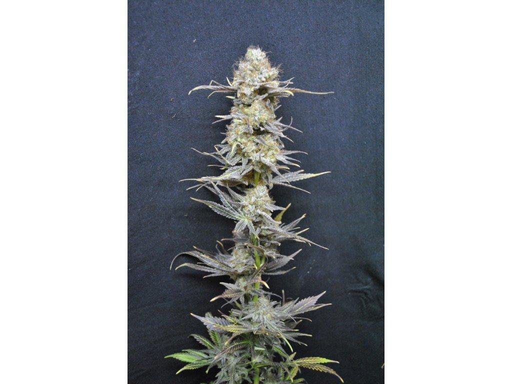 CBD Crew CBD Nordle, feminizovaná semínka marihuany, 5ks
