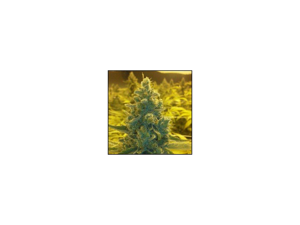 CBD Crew CBD MediHaze, feminizovaná konopná semínka, 5ks