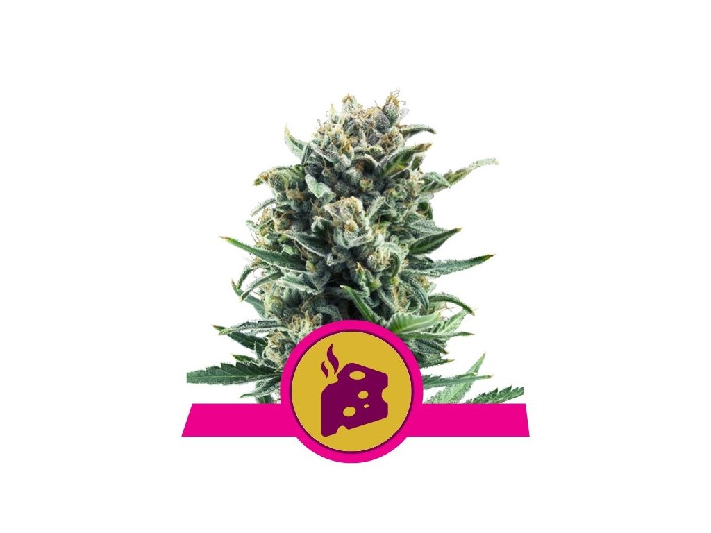Royal Queen Seeds Blue Cheese, feminizovaná konopná semínka, 5ks