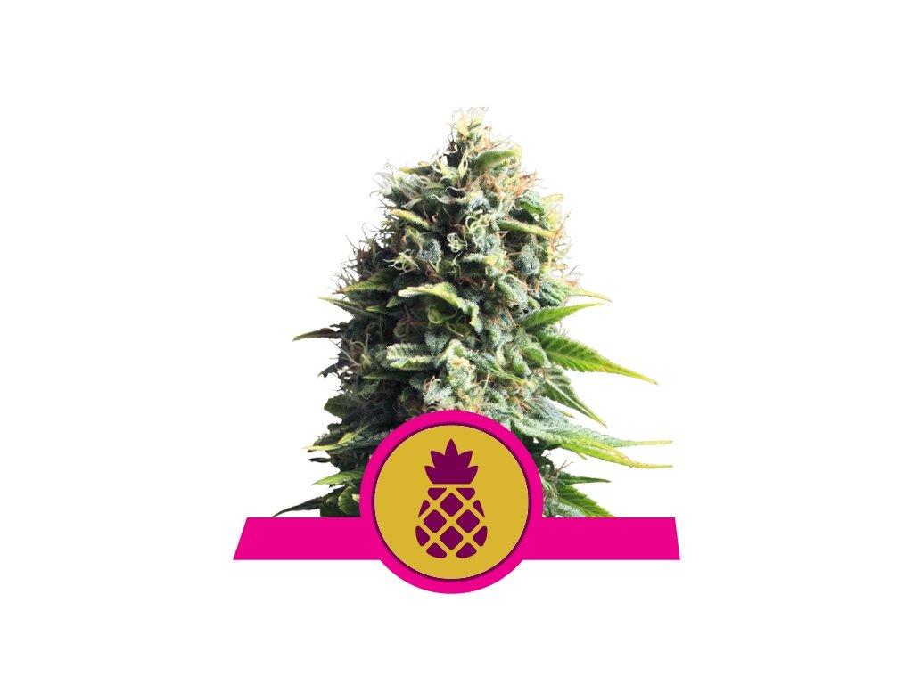 Royal Queen Seeds Pineapple Kush, feminizovaná semena marihuany, 3ks
