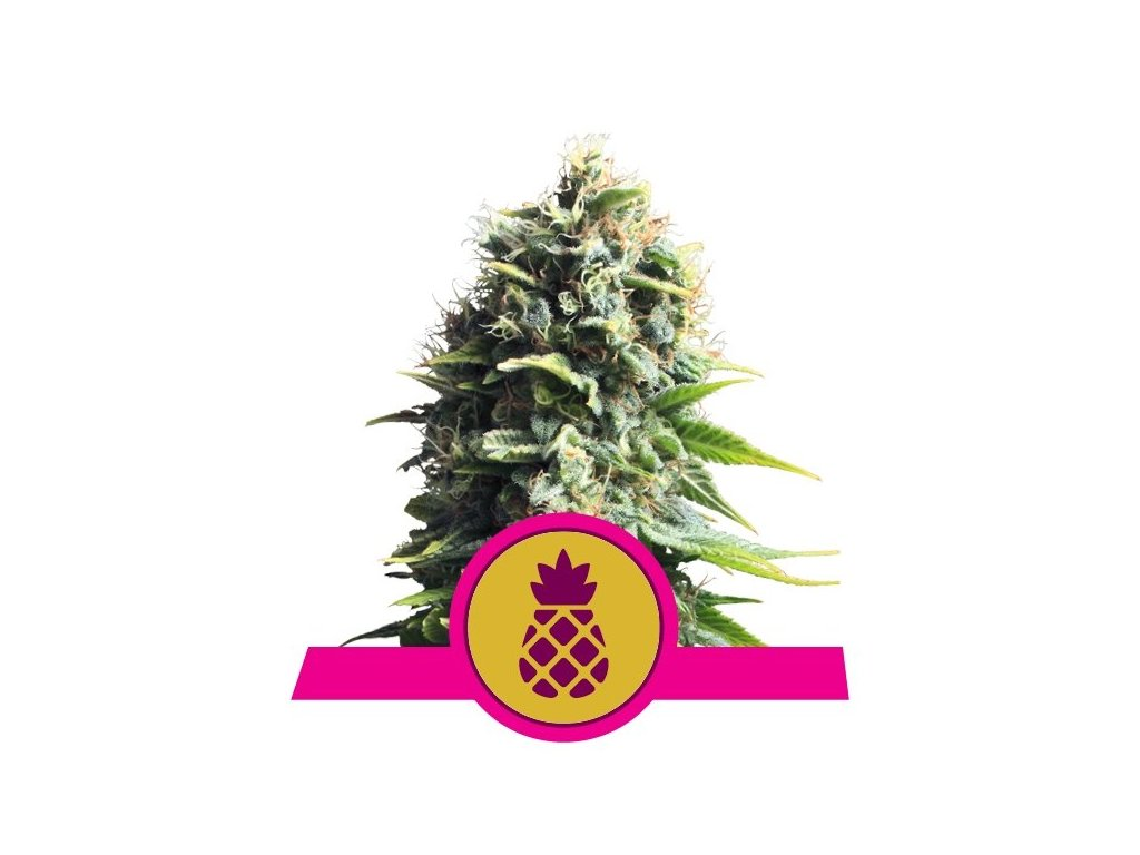 Royal Queen Seeds Pineapple Kush, feminizovaná semínka konopí, 5ks