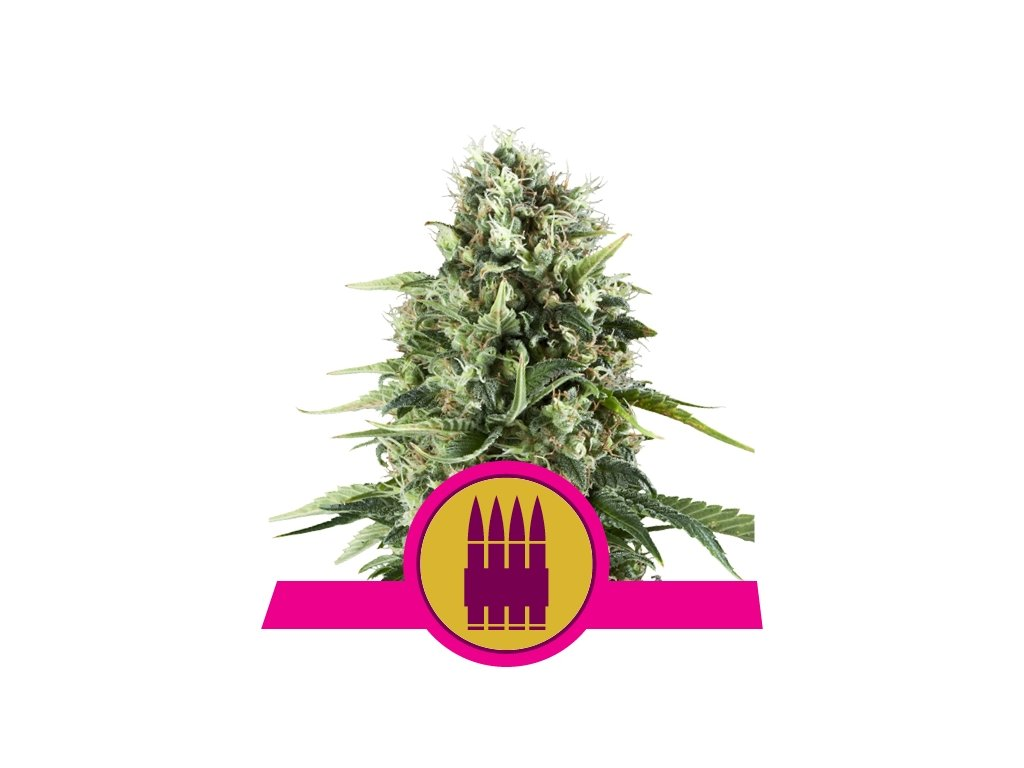 Royal Queen Seeds Royal AK, feminizovaná semena konopí, 3ks