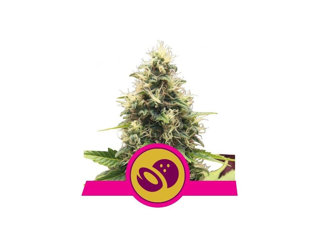 Royal Queen Seeds Somango XL, feminizovaná semena marihuany, 3ks