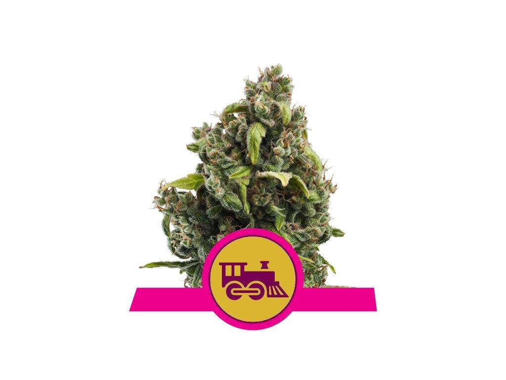 Royal Queen Seeds Candy Kush Express, feminizovaná semena marihuany, fast, 3ks