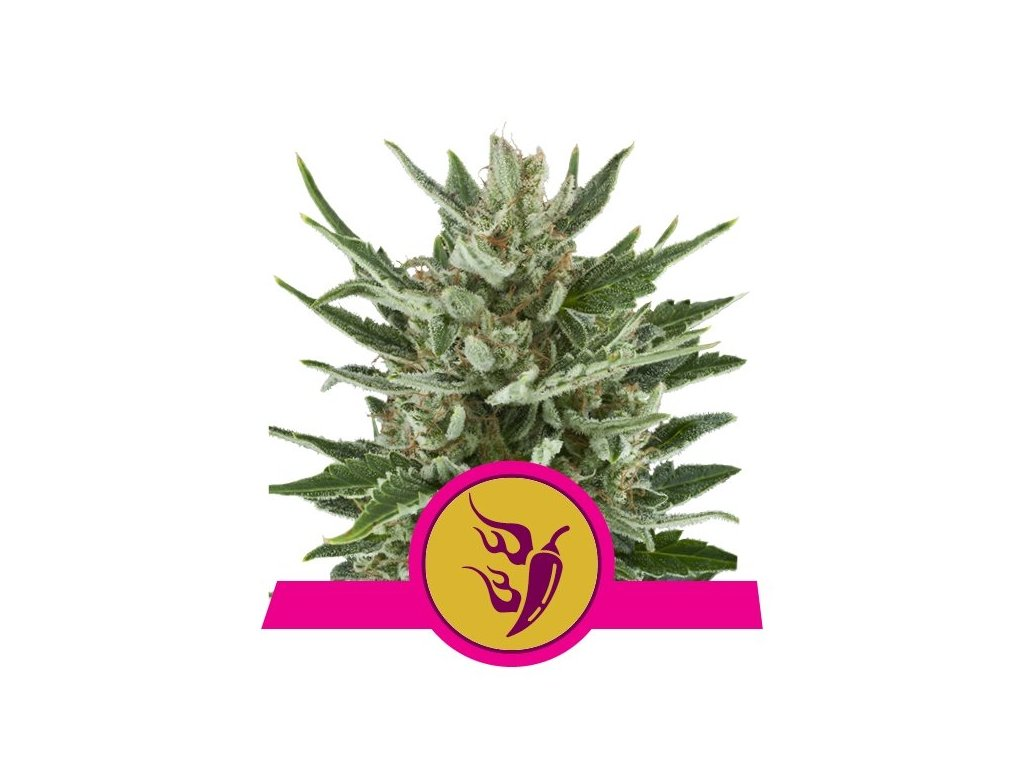 Royal Queen Seeds Speedy Chile, feminizovaná konopná semínka, fast, 5ks
