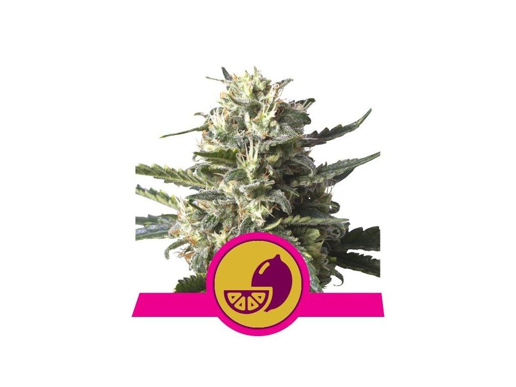 Royal Queen Seeds Lemon Shining Silver Haze, feminizovaná semínka marihuany, 10ks