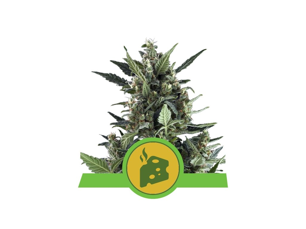 Royal Queen Seeds Blue Cheese Automatic, feminizovaná semena konopí, samonakvétací, 3ks