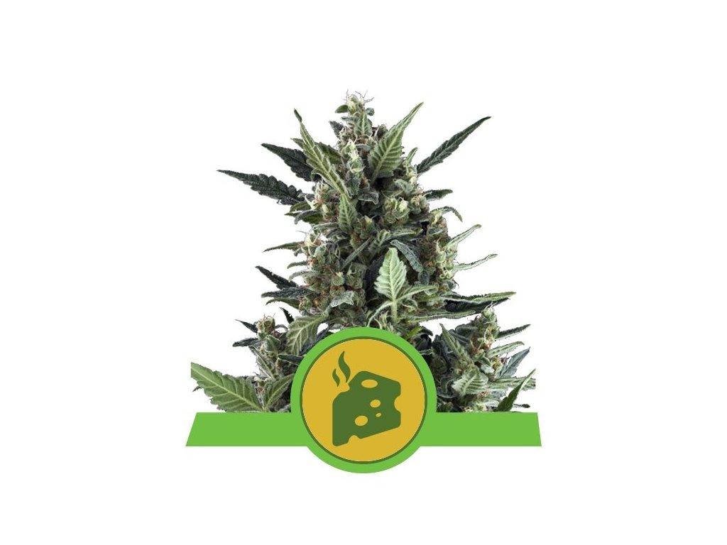 Royal Queen Seeds Blue Cheese Automatic, feminizovaná semínka marihuany, samonakvétací, 10ks