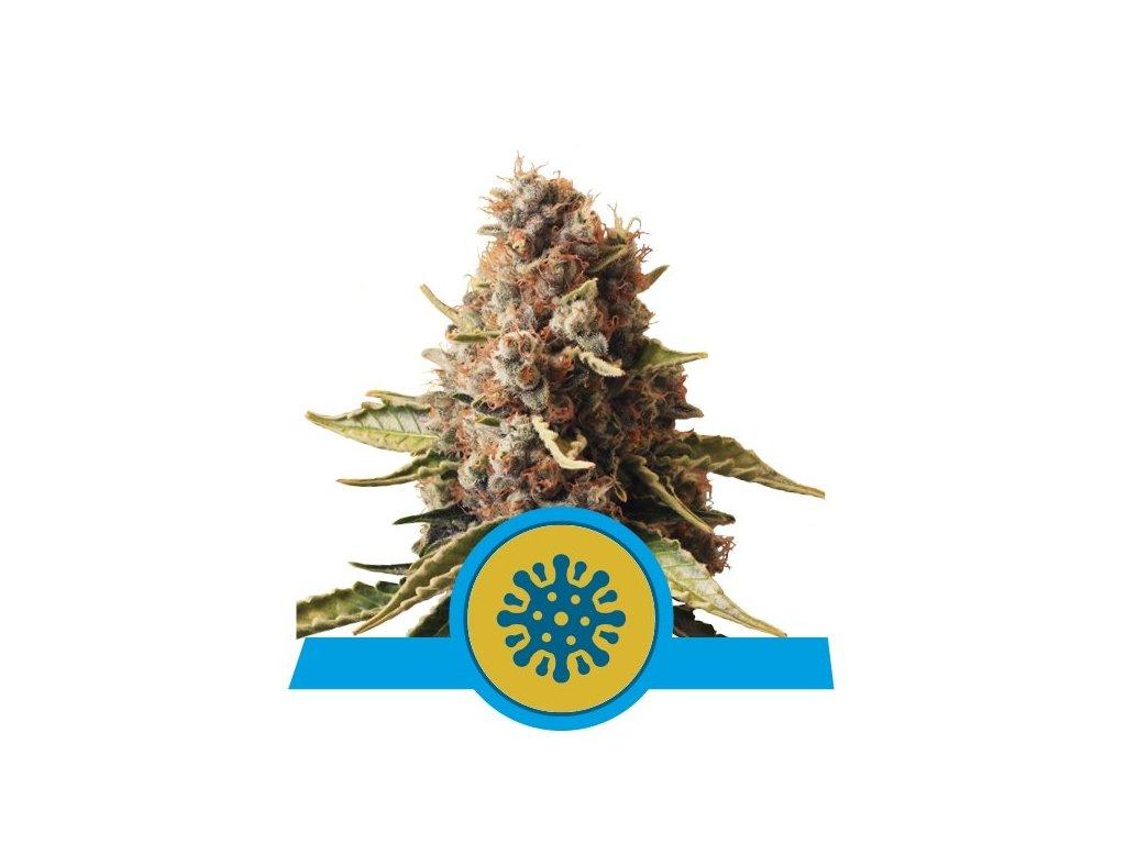 Royal Queen Seeds Euphoria, feminizovaná semena marihuany, 3ks