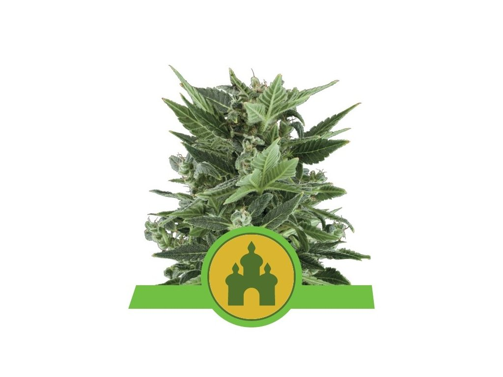 Royal Queen Seeds Royal Kush Automatic, feminizovaná semínka marihuany, samonakvétací, 10ks