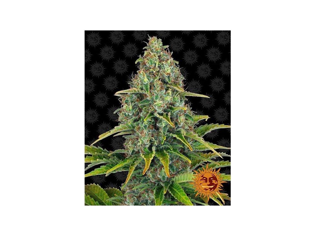 Barney's Farm Blueberry Cheese Auto, feminizovaná semena marihuany, samonakvétací, 5ks