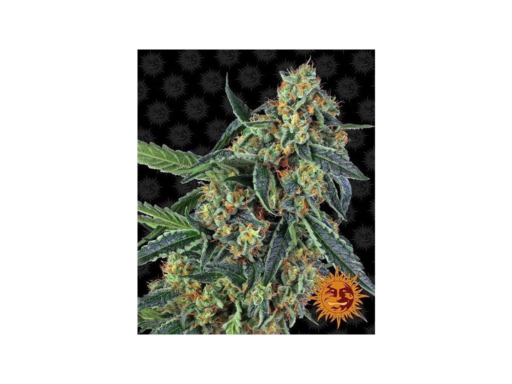 Barney's Farm Cookies Kush, feminizovaná semínka marihuany, 10ks