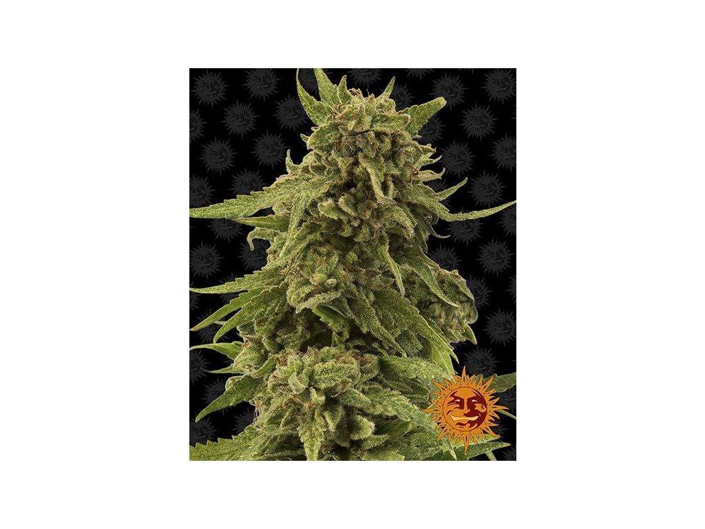 Barney's Farm CBD Critical Cure, feminizovaná konopná semínka, 5ks