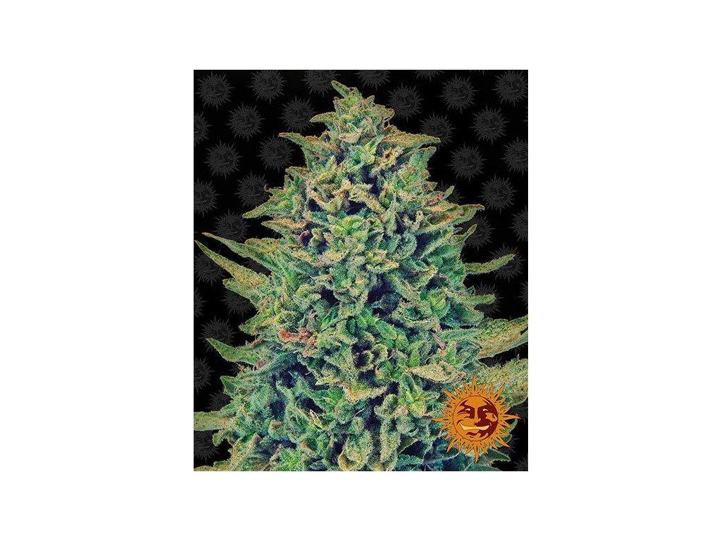 Barney's Farm CBD Blue Shark, feminizovaná semena marihuany, 3ks