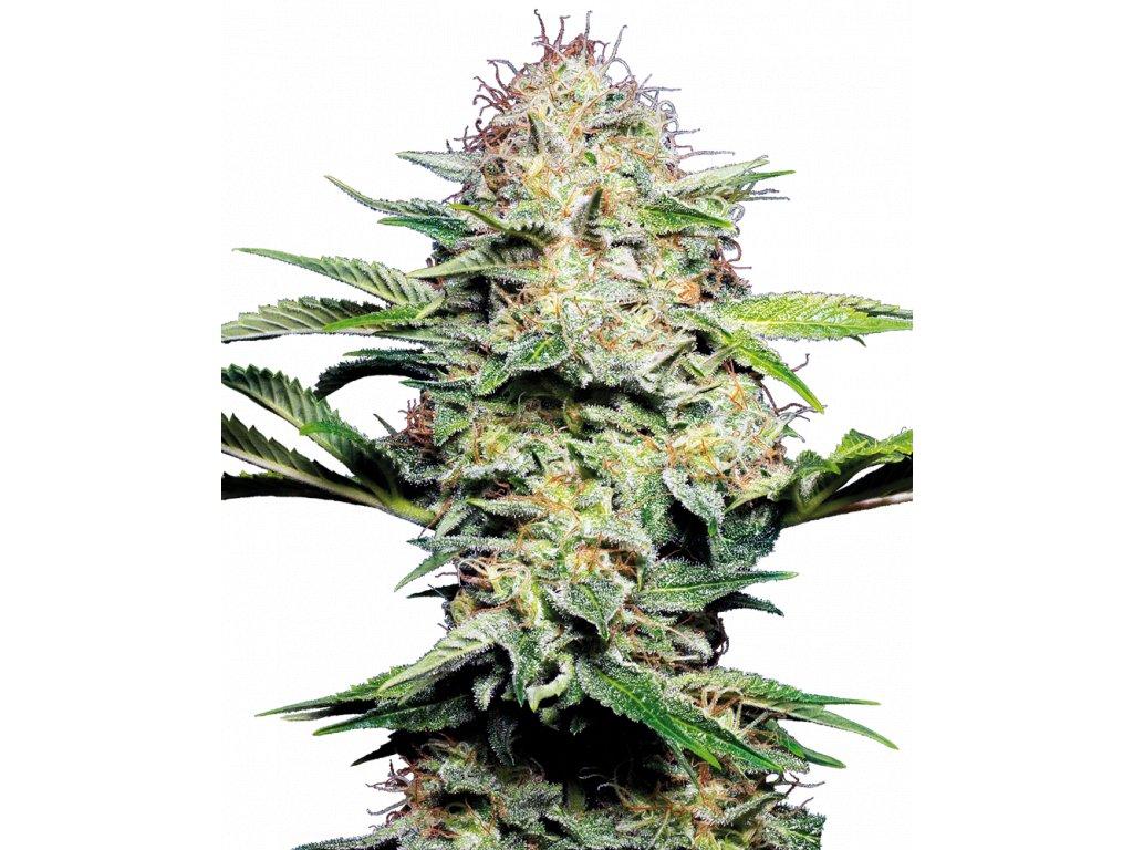 Sensi Seeds Sensi Skunk Automatic, feminizovaná semena marihuany, samonakvétací, 10ks
