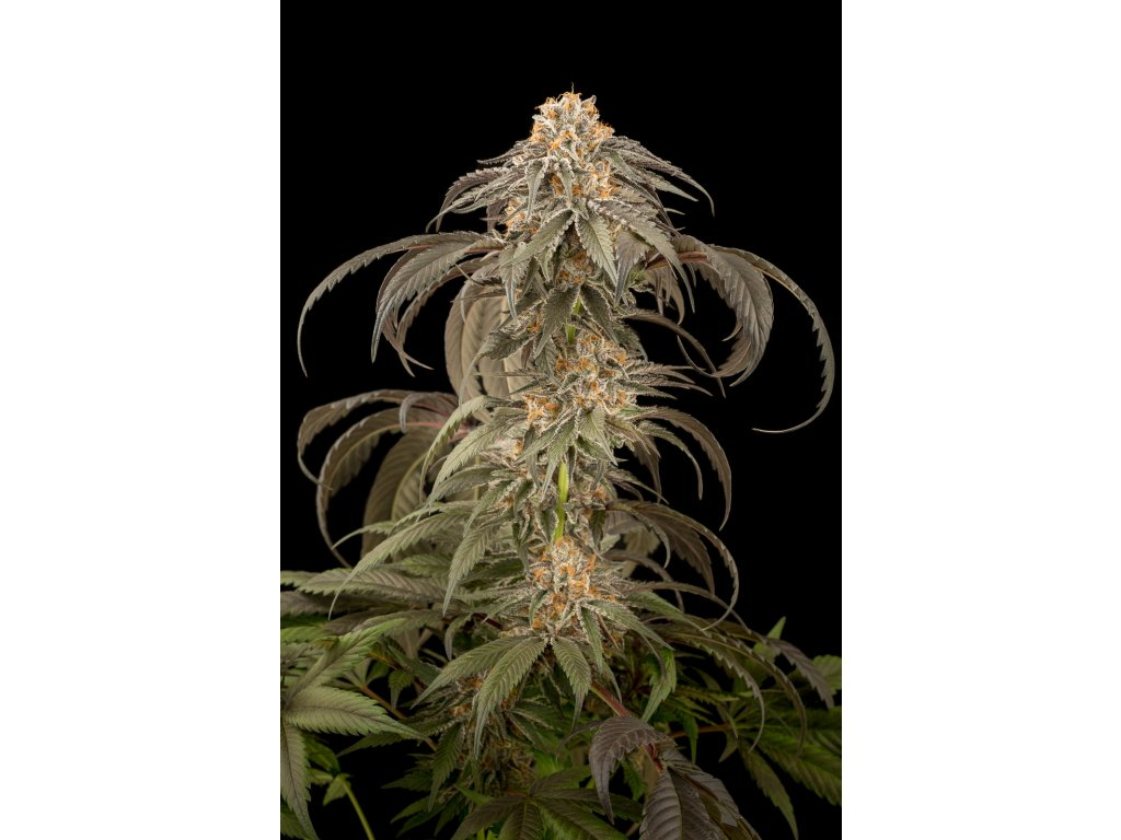 Dinafem Purple Afghan Kush, feminizovaná konopná semínka, 5ks
