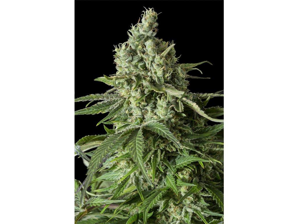 Dinafem Moby Dick CBD, feminizovaná semena marihuany, 3ks