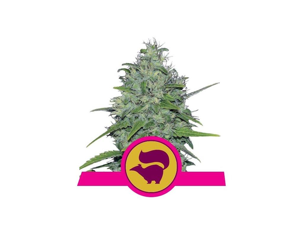 Royal Queen Seeds Skunk XL, feminizovaná semínka marihuany, 10ks