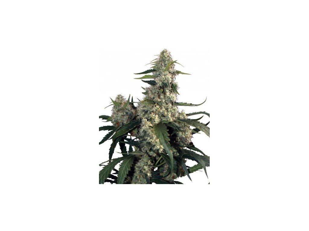 Buddha Seeds Quasar, feminizovaná konopná semínka, 5ks