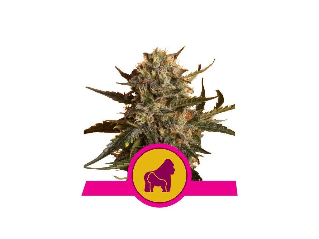 Royal Queen Seeds Mother Gorilla, feminizovaná semínka marihuany, 10ks