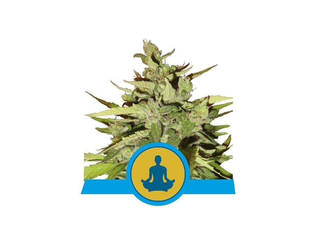 Royal Queen Seeds Stress Killer Automatic, feminizovaná semínka marihuany, samonakvétací, 10ks