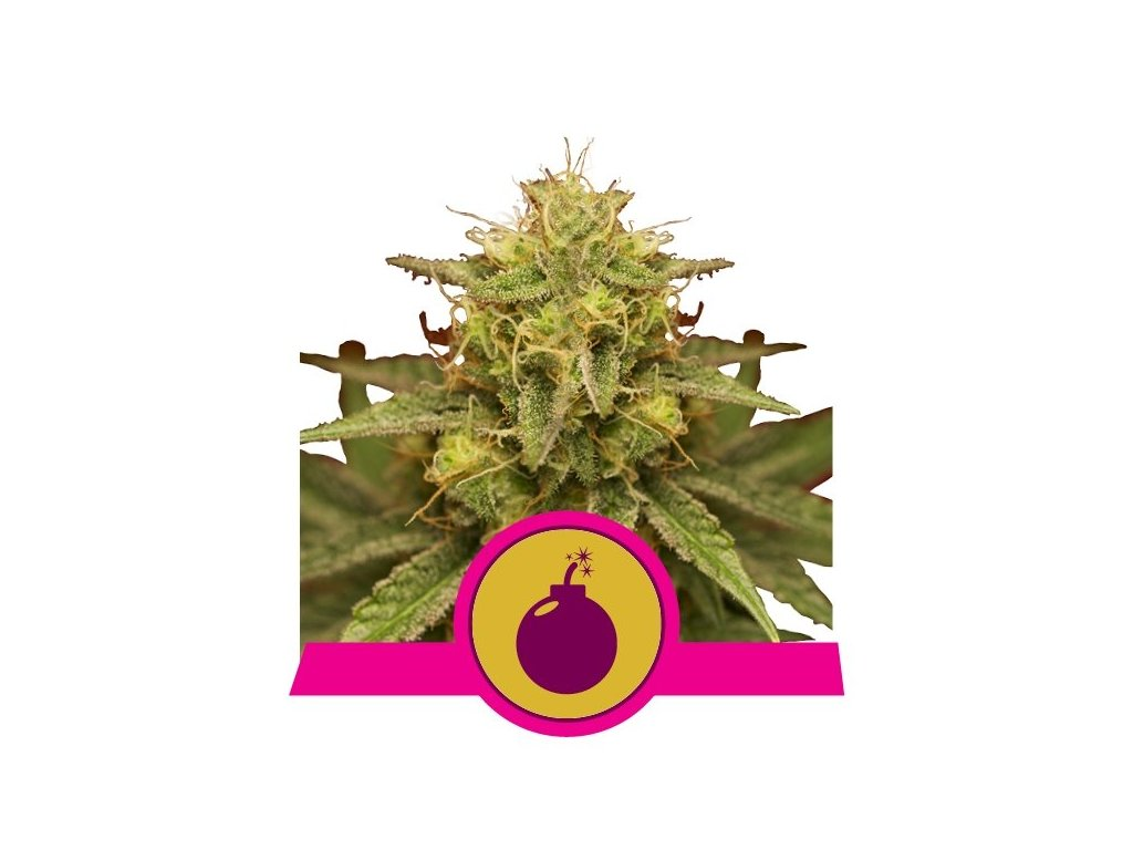 Royal Queen Seeds Royal Domina, feminizovaná semínka marihuany, 10ks