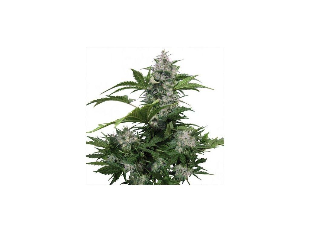 Buddha Seeds White Dwarf, feminizovaná konopná semínka, samonakvétací, 5ks