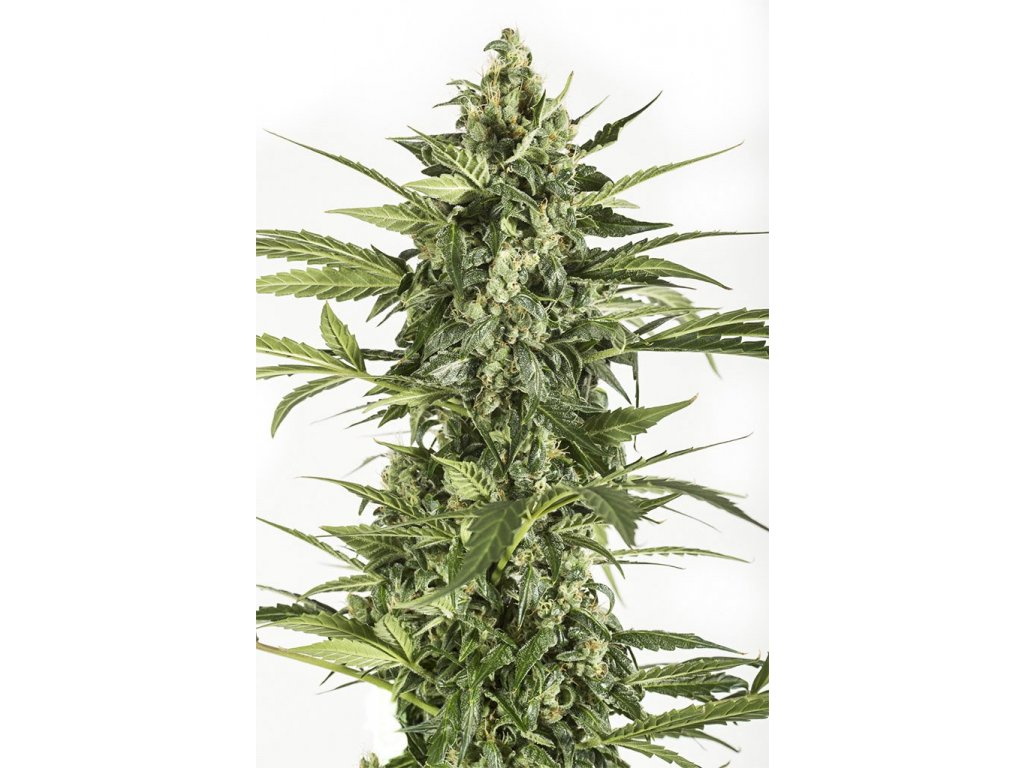 Dinafem Blue Cheese Autoflowering, feminizovaná semena marihuany, samonakvétací, 5ks