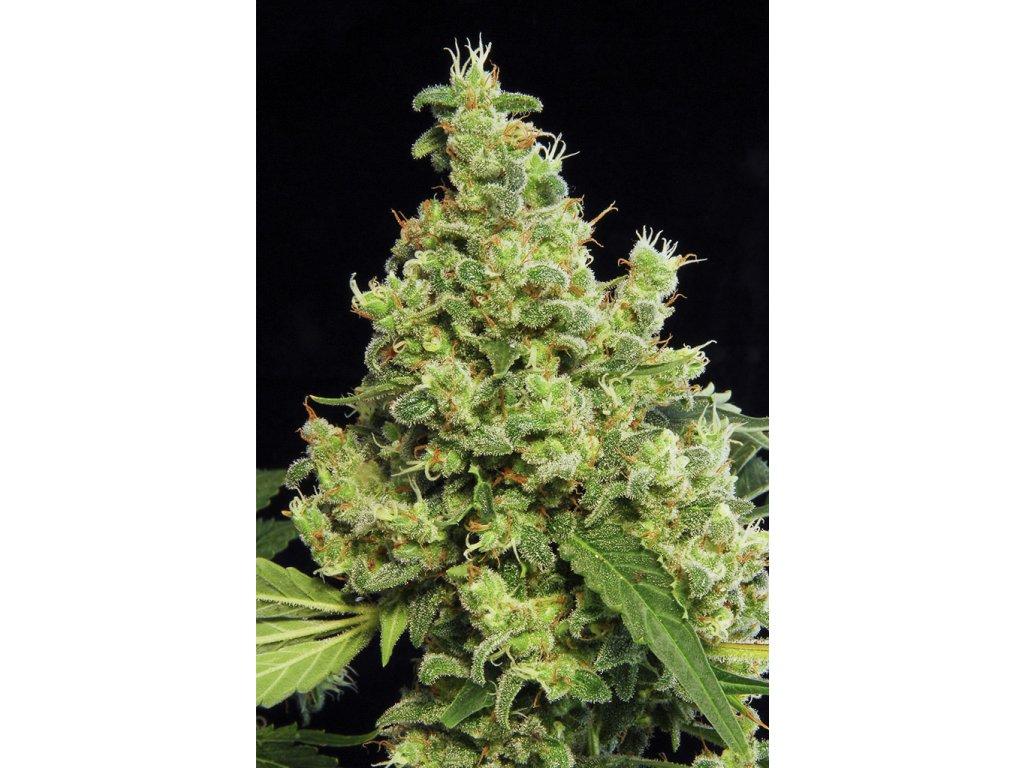 Dinafem Blue Hash, feminizovaná semena marihuany, 3ks